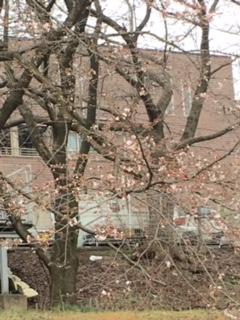 2016/03/24の桜